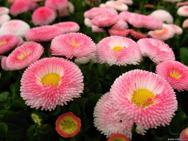 Цветы маргаритки посадка и уход